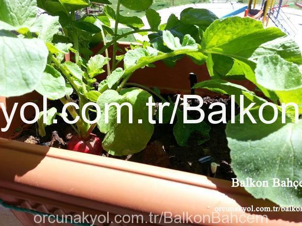 fındık turpu hasat
