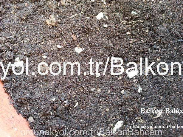 maydanoz tohumu serpilmiş alan