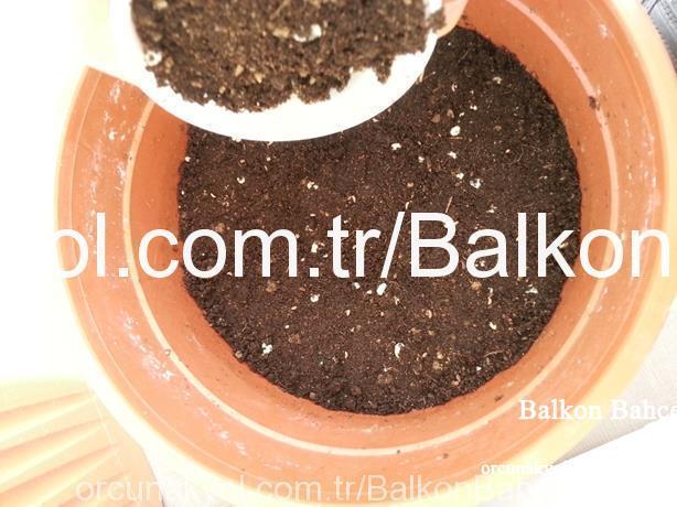maydanoz ekim sonrası üzerini toprak ile kapatıyoruz1cm