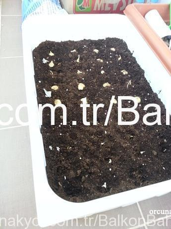 saksıda soğan ekimi