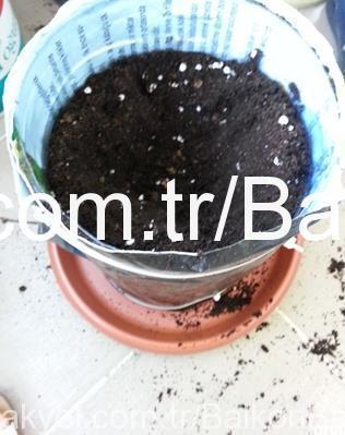 biber fidesi ekimi saksı hazırlığı